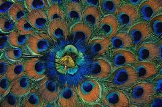 Peacock Iris Cross Stitch Pattern