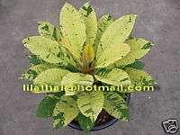 10cutting Variegated Plumeria Gold Unyamanee Plant