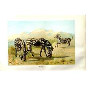 NATURAL HISTORY 1894 ZEBRA WILD ANIMAL COLOUR PRINT