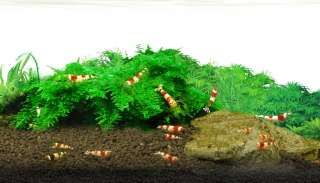 RED BEE SHRIMP FOOD  Fish Tank Decor Tropical plant co2