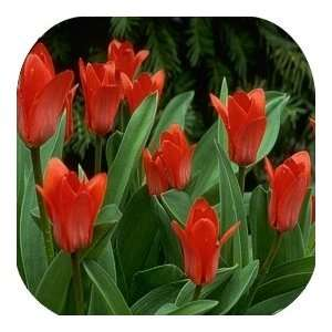 Coasters Country Flower/Flowers/Floral   (CSFL 602)