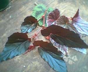 Angel Wing Begonia Maculata wrightii~*~Unrooted cutting
