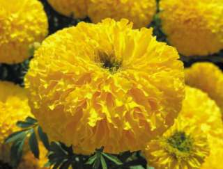 20 seeds of  American Marigold Babuda Deep Gold MAR060