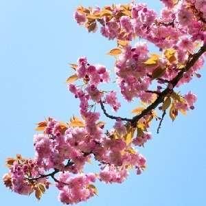Japanese Cherry Blossom Type home fragrance oil 15ml